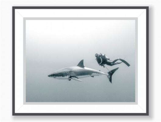 Print: Black & White - Great White Shark