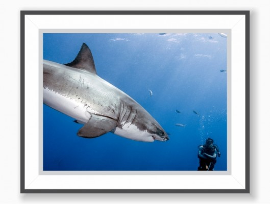 Print: Broken Myth - Great White Shark
