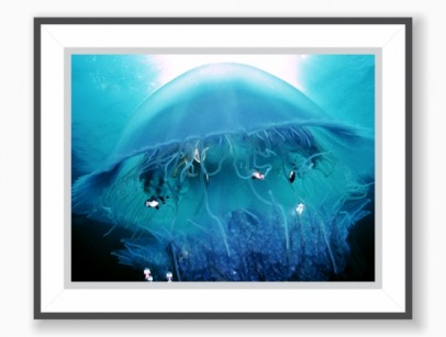 Pôster Jellyfish