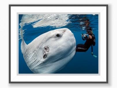 Pôster Mola-mola