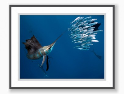Print: Sailfish