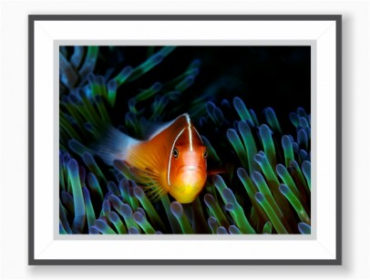 Print: Clown Fish